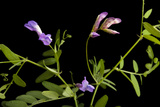 A Studio Portrait of an American Vetch, Vicia Americana Photographic Print by Joel Sartore