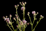 A Studio Portrait of a Canada Thistle, Cirsium Arvense Photographic Print by Joel Sartore