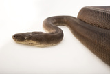 An Olive Python, Liasis Olivaceous, at the Wild Life Sydney Zoo Photographic Print by Joel Sartore