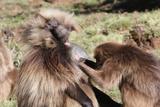 Gelada Baboons, Theropithecus Gelada Photographic Print by Cagan Sekercioglu