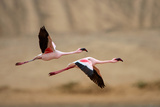 Greater Flamingos (Phoenicopterus Roseus) Flying, Walvis Bay, Namibia Photographic Print by Green Light Collection
