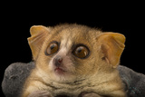A Gray Mouse Lemur, Microcebus Murinus, at the Duke Lemur Center Photographic Print by Joel Sartore