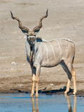 Greater Kudu (Tragelaphus Strepsiceros) at Waterhole, Etosha National Park, Namibia Photographic Print by Green Light Collection