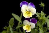 Viola or Sweet Violet Flowers, Viola Odorata Photographic Print by Joel Sartore