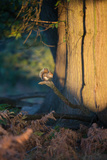 A Gray Squirrel Feeds in the Autumn Foliage of Richmond Park Photographic Print by Alex Saberi