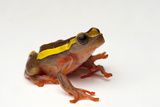 An Upper Amazon Tree Frog, Dendropsophus Bifurcus Photographic Print by Joel Sartore