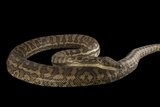 A Southern Carpet Python, Morelia Spilota Imbricata, at the Wild Life Sydney Zoo Photographic Print by Joel Sartore