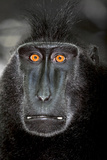 A Close Up Portrait of a Celebes Crested Macaque, Macaca Nigra Photographic Print by Cagan Sekercioglu