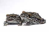 Two Endangered Juvenile Yosemite Toads, Anaxyrus Canorus Photographic Print by Joel Sartore