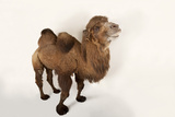 A Critically Endangered Bactrian Camel, Camelus Bactrianus, at the Lincoln Children's Zoo Fotografisk tryk af Joel Sartore