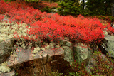 Black Huckleberry Shrubs in Autumn Foliage, Reindeer Moss and a Granite Outcrop Photographic Print by Darlyne Murawski
