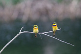 Two Little Bee Eaters, Merops Pusillus Photographic Print by Ian Nichols