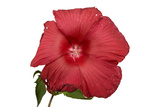 A Hibiscus Flower, Malvoideae Hibisceae Photographic Print by Joel Sartore