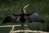 Anhinga (Anhinga Anhinga) Perching, Tortuguero, Costa Rica Photographic Print by Green Light Collection
