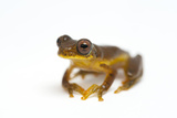 A Lesser Treefrog, Dendropsophus Minutus Photographic Print by Joel Sartore