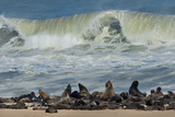 Cape Fur Seals (Arctocephalus Pusillus) Colony, Cape Cross, Namibia Photographic Print by Green Light Collection