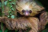 Two-Toed Sloth (Choloepus Didactylus), Tortuguero, Costa Rica Photographic Print by Green Light Collection