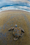 Green Sea Turtle (Chelonia Mydas) Hatchling, Tortuguero, Costa Rica Photographic Print by Green Light Collection