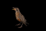 A Young Robin, Turdus Migratorius, in Lincoln, Nebraska Photographic Print by Joel Sartore
