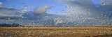 A Panoramic of Thousands of Migrating Snow Geese and Sandhill Cranes Taking Flight Photographic Print by Panoramic Images