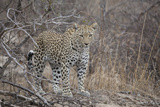 A Leopard, Panthera Pardus, Stands in the Savanna of Kruger National Park Photographic Print by Gabby Salazar