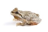 The Sierra Nevada Version of a Pacific Treefrog, Pseudacris Regilla Photographic Print by Joel Sartore