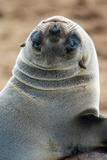 Cape Fur Seal (Arctocephalus Pusillus), Cape Cross, Namibia Photographic Print by Green Light Collection