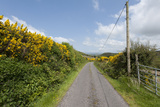 Gorse in Springtime Bloom Along a Rural Road in County Kerry, Ireland Photographic Print by Jeff Mauritzen
