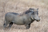 Warthog (Phacochoerus Africanus), Tarangire National Park, Tanzania Photographic Print by Green Light Collection