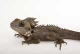 Boyd's Forest Dragon, Hypsilurus Boydii, at the Wild Life Sydney Zoo Photographic Print by Joel Sartore