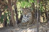 A Jaguar, Panthera Onca, Lies Among Undergrowth Photographic Print by Cagan Sekercioglu