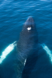 A Humpback Whale Swims Close to the Surface of the Ocean Photographic Print by Tom Murphy