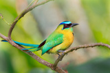 Blue-Crowned Motmot (Momotus Momota), San Jose, Costa Rica Photographic Print by Green Light Collection