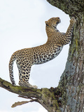 Leopard (Panthera Pardus) Climbing a Tree, Ndutu, Ngorongoro Conservation Area, Tanzania Photographic Print by Green Light Collection