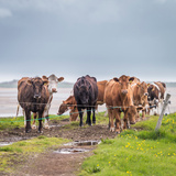 Portrait of Cows Grazing, Iceland Lámina fotográfica por Green Light Collection