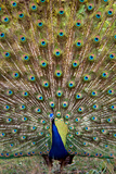 Dancing Peacock, Kanha National Park, Madhya Pradesh, India Photographic Print by Green Light Collection