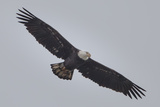 A Bald Eagle, Haliaeetus Leucocephalus, in Flight Searching for Fish Below the Conowingo Dam Photographic Print by Kent Kobersteen