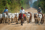 Cowboy Herding Cattle, Pantanal Wetlands, Brazil Photographic Print by Green Light Collection