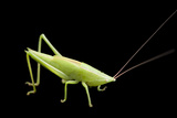 A Nymph of the Conehead Katydid, Neoconocephalus, from Dieken Prairie Near Unadilla, Nebraska Photographic Print by Joel Sartore