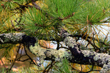 Lichen Crusted Branches of a Pine Tree Near the Coast of Maine Photographic Print by Darlyne Murawski