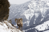 A Bighorn Sheep, Ovis Canadensis, in a Snowy Mountain Landscape Photographic Print by Robbie George
