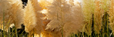 Close-Up of Pampas Grass Photographic Print by Panoramic Images