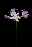 Resurrection Lilies, also known as Naked Ladies, Lycoris Squamigera Photographic Print by Joel Sartore
