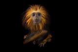 An Endangered Golden-Headed Lion Tamarin, Leontopithecus Chrysomelas, at the Dallas World Aquarium Stampa fotografica di Sartore, Joel