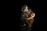 Endangered Francois' Langurs, Trachypithecus Francoisi Photographic Print by Joel Sartore