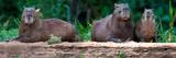 Capybara (Hydrochoerus Hydrochaeris), Pantanal Wetlands, Mato Grosso, Brazil Photographic Print by Panoramic Images