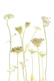 A Cluster of Queen Anne's Lace Flowers, Daucus Carota Photographic Print by Robert Llewellyn