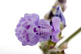 Catnip Flowers, Nepeta Cataria Photographic Print by Joel Sartore