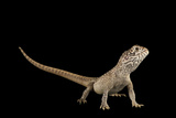 A Central Netted Dragon, Ctenophorus Nuchalis, at the Wild Life Sydney Zoo Photographic Print by Joel Sartore