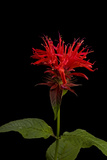 A Bee Balm Plant, Monarda Didyma Photographic Print by Joel Sartore